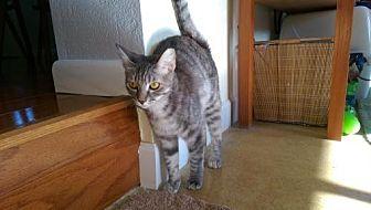 Domestic Shorthair Cat for adoption in Satellite Beach, Florida - Mini Mama & Pinkerton