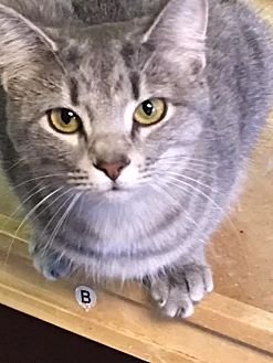 Domestic Shorthair Cat for adoption in Holly Springs, Mississippi - Chiara