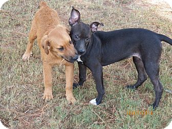 Pit Bull Terrier Mix Dog for adoption in Boston, Massachusetts - Maya (AKA Daisy