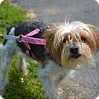 Adopt A Pet :: Millie - Akron, OH
