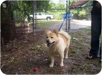 Chow Chow Mix Dog for adoption in Chesapeake, Virginia - Sunny