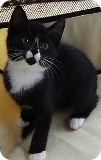 Domestic Shorthair Kitten for adoption in Port Republic, Maryland - Victor