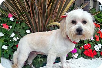 Lhasa Apso Mix Dog for adoption in Los Angeles, California - VALENCIA