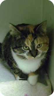 Calico Cat for adoption in Muskegon, Michigan - Holly