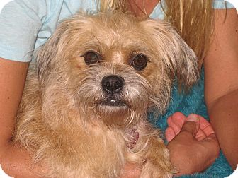 Shih Tzu/Terrier (Unknown Type, Small) Mix Dog for adoption in Homewood, Alabama - Lacy