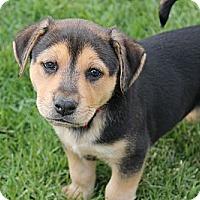 Adopt A Pet :: Fred - La Habra Heights, CA