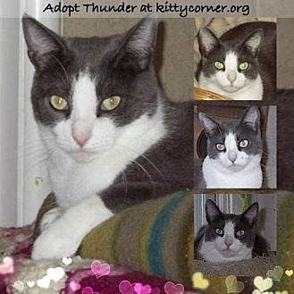 Domestic Shorthair Cat for adoption in Liverpool, New York - Thunder