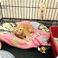 Adopt A Pet :: Gus - Speonk, NY