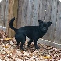 Adopt A Pet :: Nicole - Bardonia, NY