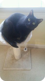 Domestic Shorthair Cat for adoption in Lake Orion, Michigan - Ariana