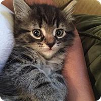 Adopt A Pet :: FLUFFY aka CHLOE - Hamilton, NJ