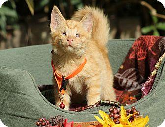 Domestic Shorthair Kitten for adoption in Ocean Springs, Mississippi - Seth GG Lyons