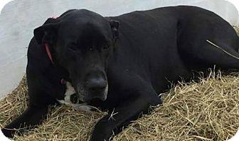 Great Dane Dog for adoption in Boston, Massachusetts - Luke - URGENT