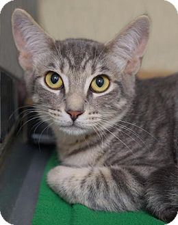 Domestic Shorthair Cat for adoption in Alameda, California - Timmy