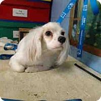 Cocker Spaniel Mix Puppy for adoption in San Bernardino, California - URGENT ON 5/10  San Bernardino