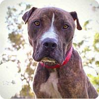 Adopt A Pet :: Bingo - Beverly Hills, CA