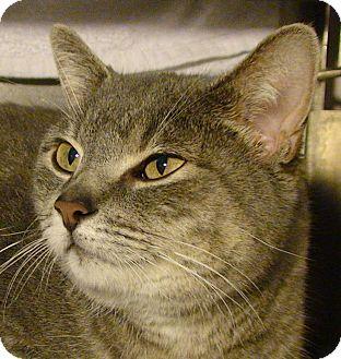 Domestic Shorthair Cat for adoption in El Cajon, California - Jenny