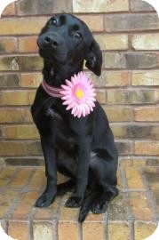 Retriever (Unknown Type)/Labrador Retriever Mix Puppy for adoption in Benbrook, Texas - Fefe