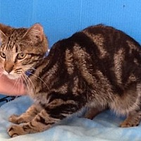 Domestic Shorthair Cat for adoption in Houston, Texas - Allison
