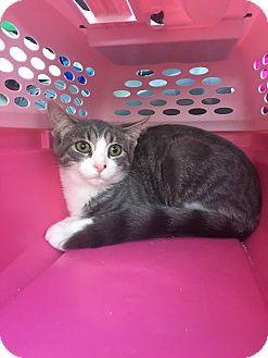 Domestic Shorthair Kitten for adoption in Warren, Michigan - Fudge Swirl