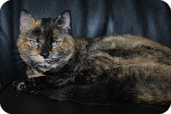 Domestic Shorthair Cat for adoption in New Castle, Pennsylvania - Birdie
