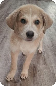 Great Pyrenees Mix Puppy for adoption in Croydon, New Hampshire - Smore - Adopted!