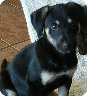 Spaniel (Unknown Type)/Shepherd (Unknown Type) Mix Puppy for adoption in Las Cruces, New Mexico - Tera