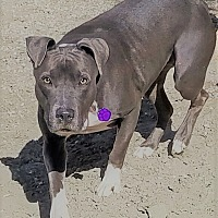 Adopt A Pet :: Zoey - Palm Springs, CA
