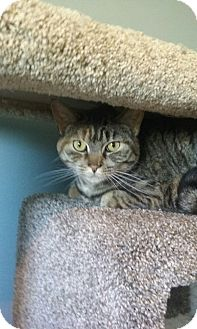 Domestic Shorthair Cat for adoption in Islip, New York - Lucy