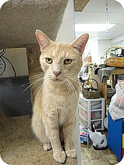 Domestic Shorthair Cat for adoption in MADISON, Ohio - CJ