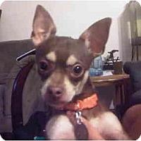 Adopt A Pet :: Pedro - Arlington, TX
