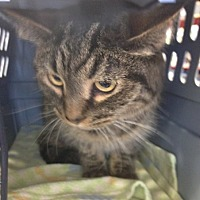 Domestic Shorthair Cat for adoption in Toledo, Ohio - Amber