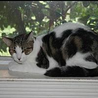 Domestic Shorthair Kitten for adoption in Sarasota, Florida - Bixby