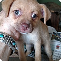 Adopt A Pet :: Rose - Simi Valley, CA
