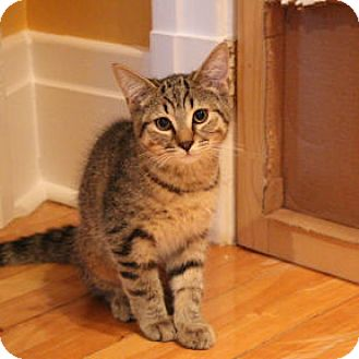Domestic Shorthair Kitten for adoption in Verdun, Quebec - Kinder