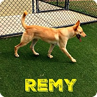 Adopt A Pet :: Remy (fostered in Texas) - Cranston, RI