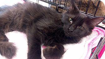 Domestic Mediumhair Kitten for adoption in Columbus, Ohio - Fro Fro