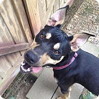 Australian Kelpie Mix Dog for adoption in Somerset, Kentucky - Springs