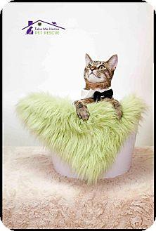 Domestic Shorthair Cat for adoption in Richardson, Texas - Luke