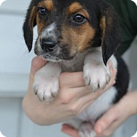 Adopt A Pet :: Major - Danbury, CT