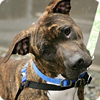 Adopt A Pet :: Star - Bellingham, WA