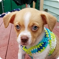 Shih Tzu/Chihuahua Mix Puppy for adoption in Alexandria, Virginia - Mickey Rooney (The Little Stars)