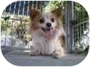 Chihuahua/Papillon Mix Dog for adoption in Studio City, California - Tiki