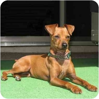 Miniature Pinscher Dog for adoption in Phoenix, Arizona - Becket
