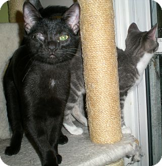 Domestic Shorthair Cat for adoption in Troy, Michigan - Sly
