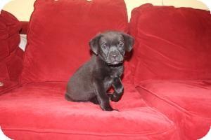 Labrador Retriever Mix Puppy for adoption in Marlton, New Jersey - Rosie