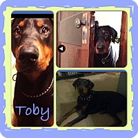 Adopt A Pet :: Toby - East McKeesport, PA