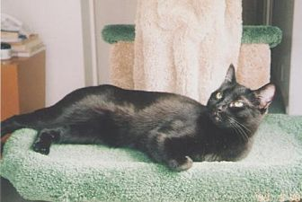 Domestic Shorthair Cat for adoption in Houston, Texas - Zooey
