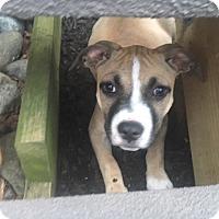 Adopt A Pet :: Honey - Westminster, MD