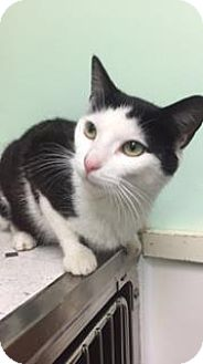 Domestic Shorthair Cat for adoption in Canastota, New York - Mango